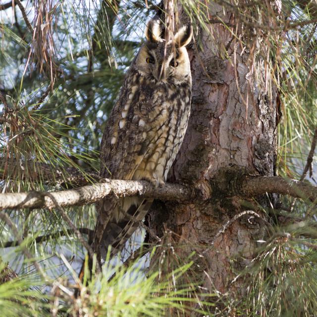 """Long-eared owl (Asio otus)"" stock image"