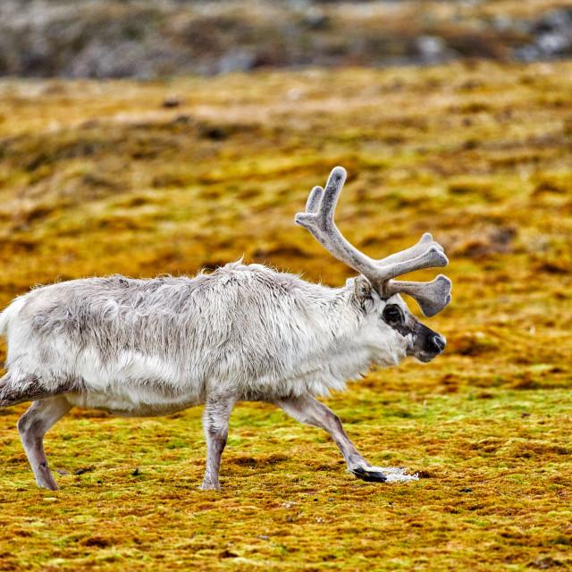 """Svalbard reindeer (Rangifer tarandus platyrhynchus)"" stock image"