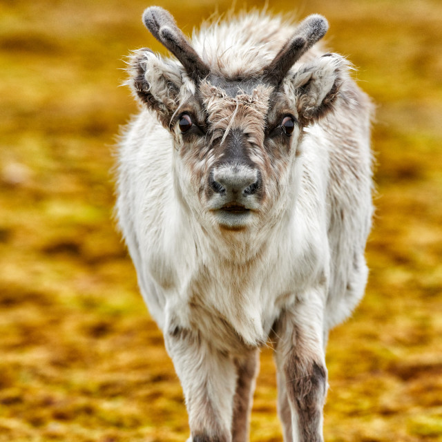 """""""inquisitive young Svalbard reindeer"""" stock image"""