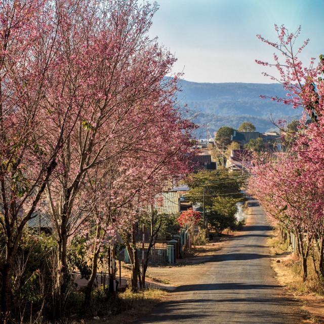 """Peach blossom flowers"" stock image"