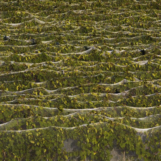 """""""Frontenac Gris Grape vines covered with bird netting; Fulford, Quebec, Canada"""" stock image"""