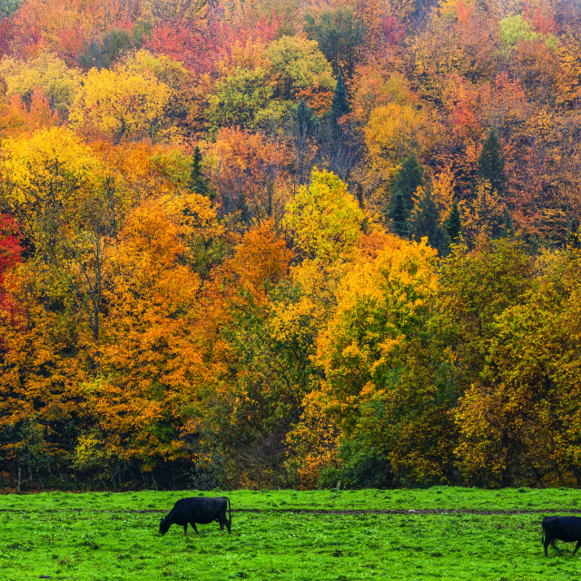 """""""Cows in a lush grass field with vibrant, colourful autumn foliage in the..."""" stock image"""