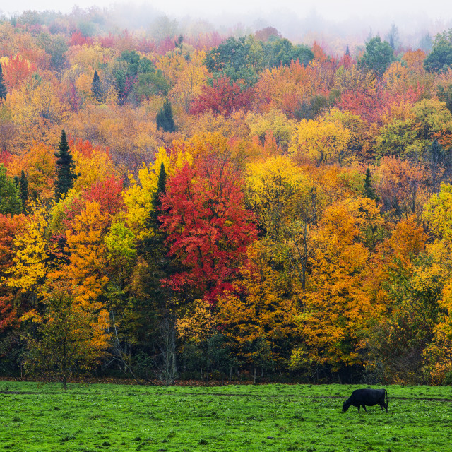 """""""A cow grazing in a lush grass field with vibrant, colourful autumn foliage in..."""" stock image"""