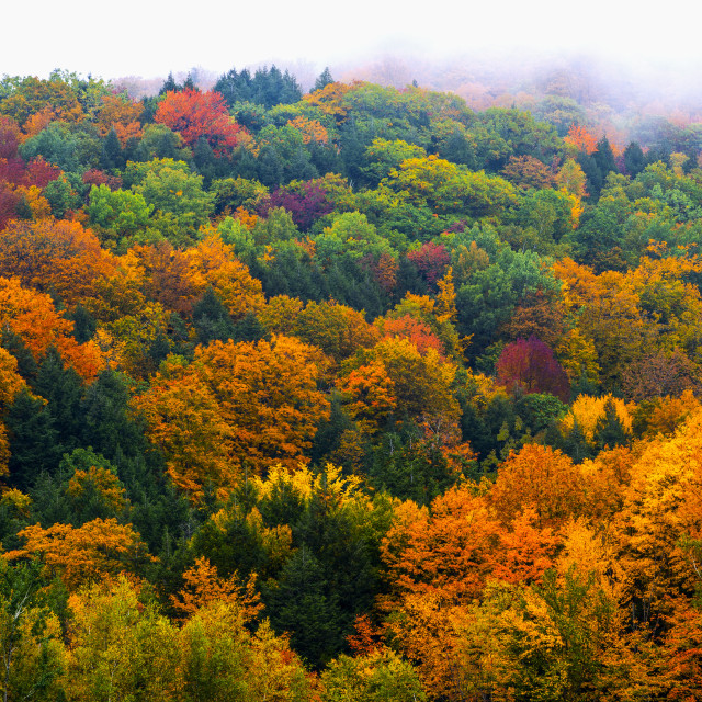 """""""Vibrant autumn coloured foliage in a forest of deciduous trees; Fulford,..."""" stock image"""