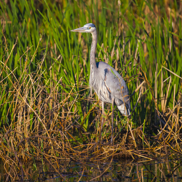 """""""Great blue heron (Ardea herodias) stands on the edge of the water, Anahuac..."""" stock image"""
