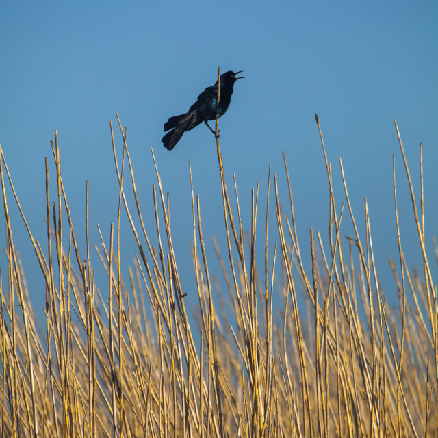 """""""Red-winged blackbird (Agelaius phoeniceus) perched on a reed, Anahuac..."""" stock image"""