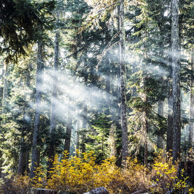 """""""Campfire smoke drifting through the trees on an autumn morning, Gifford..."""" stock image"""