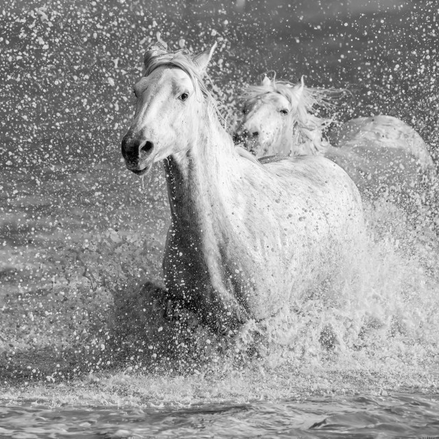 """""""White horses of Camargue running out of the water; Camargue, France"""" stock image"""