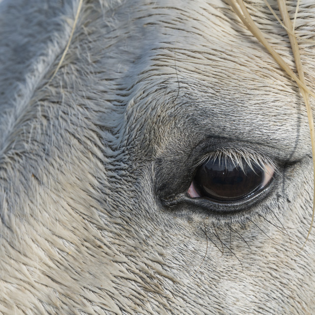 """""""Close-up of the eye of a Camargue horse; Camargue, France"""" stock image"""