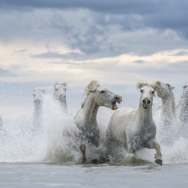"""White horses of Camargue running out of the water; Camargue, France"" stock image"