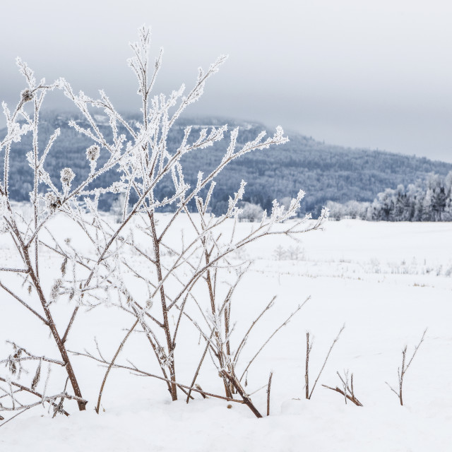"""""""Hoarfrost covered trees in winter with a mountain in the distance; Thunder..."""" stock image"""