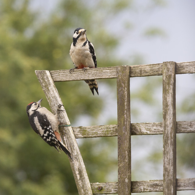 """""""A pair of Woodpeckers"""" stock image"""