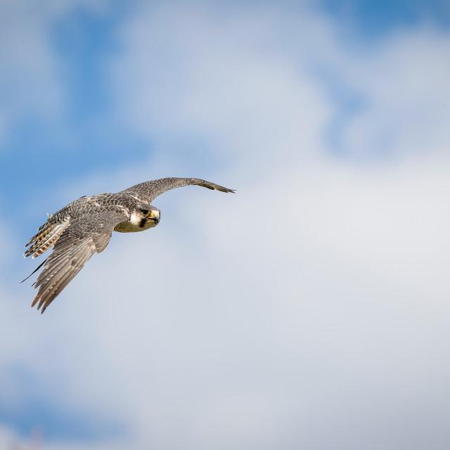 """Bird of prey"" stock image"