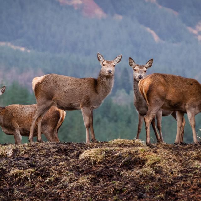 """""""A herd of doe deer"""" stock image"""