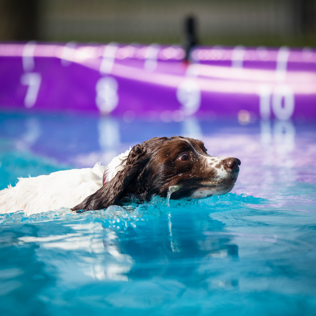 """""""A dog in water"""" stock image"""