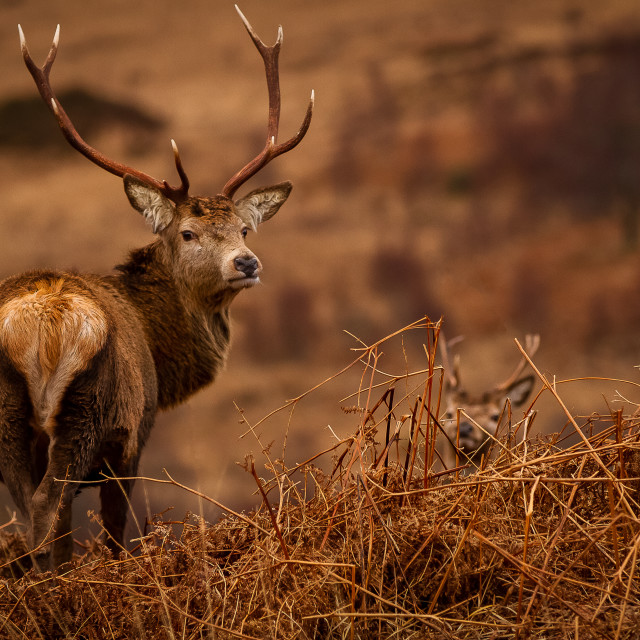 """Male stag"" stock image"