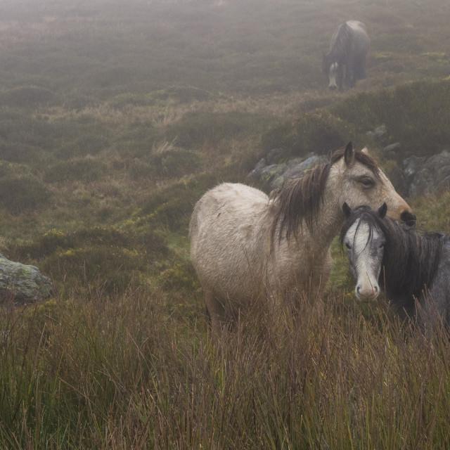 """Wild ponies in Snowdonia"" stock image"