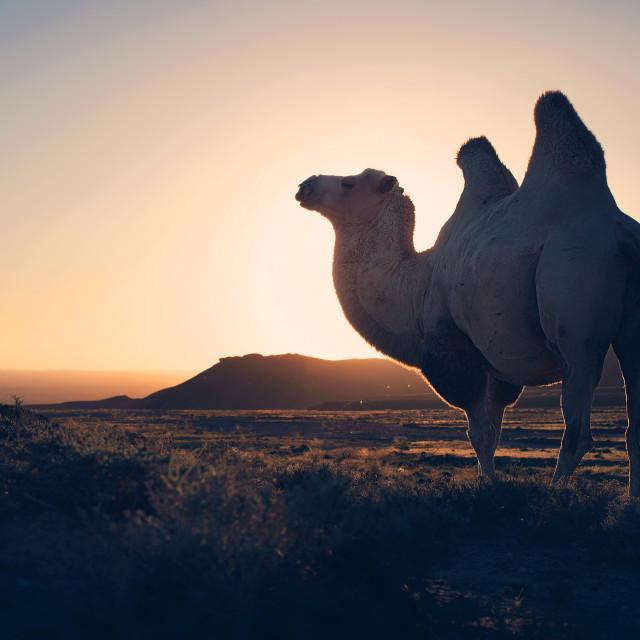 """""""FR Camel Hunt"""" stock image"""