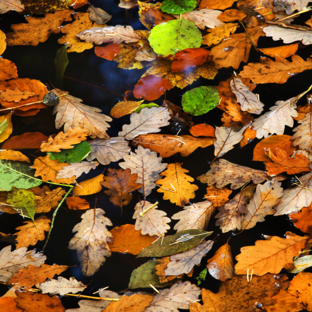 """Floating Leaves in Autumn"" stock image"
