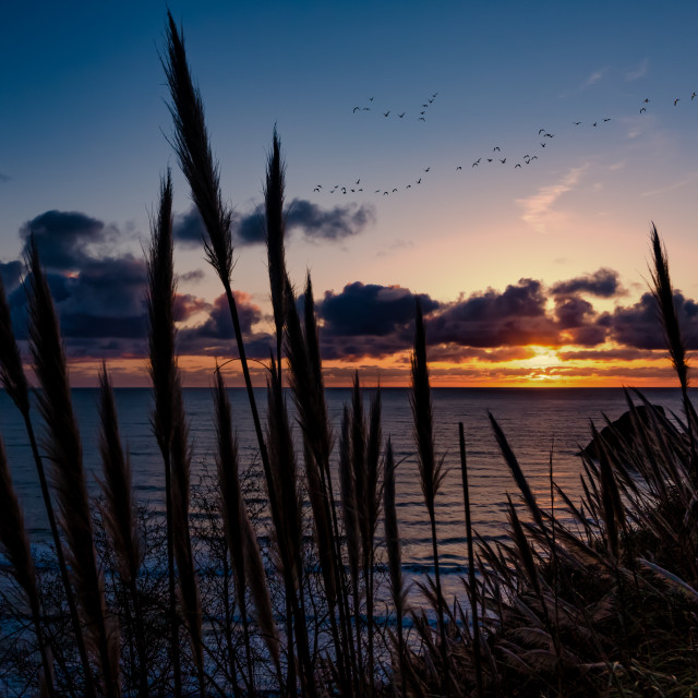 """""""A Flock of Geese Fly Through the Sunset Over Trinidad, California"""" stock image"""