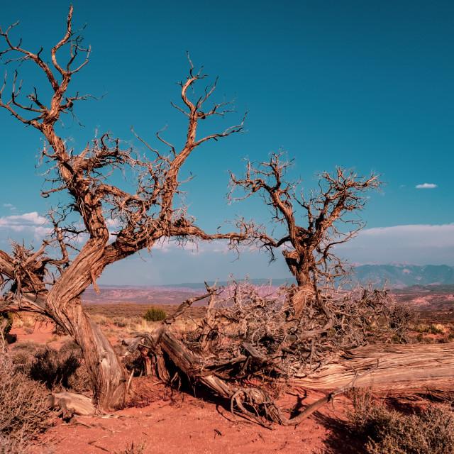 """Utah Juniper, Arches National Park"" stock image"