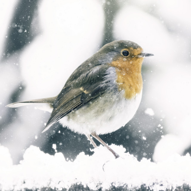 """Robin In The Snow"" stock image"