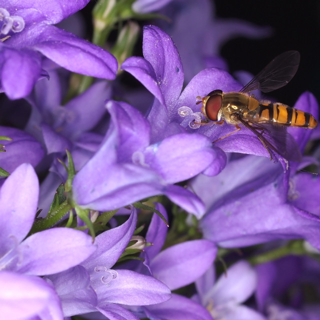 """Wasp-like on a campanula."" stock image"