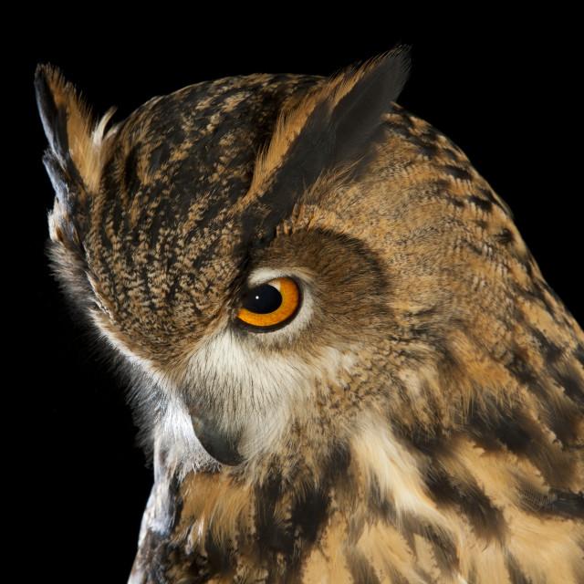 """""""Male Eurasian Eagle-Owl (European Eagle-Owl) (Bubo bubo)"""" stock image"""
