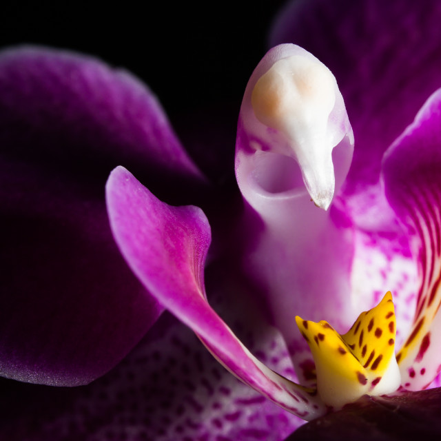 """Purple Orchid"" stock image"