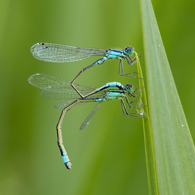 """Paired Blue Tailed Damselflies"" stock image"