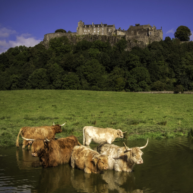 """Cows At The Castle"" stock image"