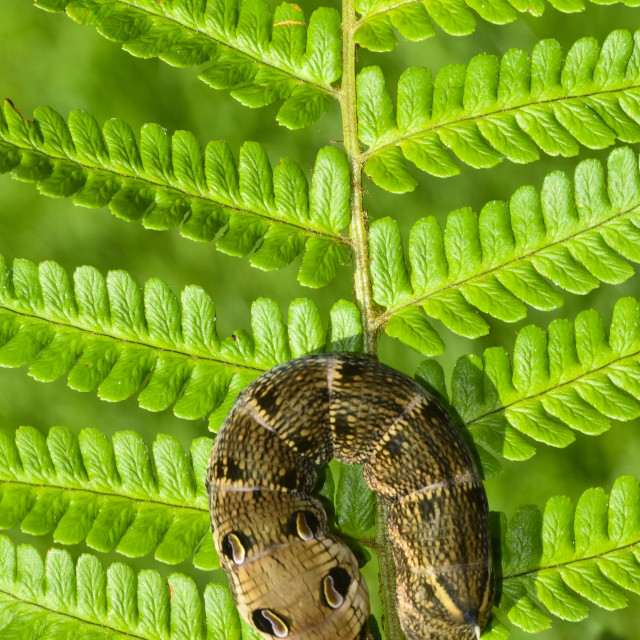 """Elephant Hawk Moth Caterpillar (Deilephila elpenor)"" stock image"