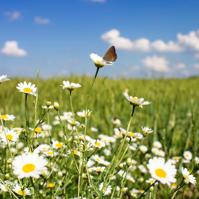 """""""A lawn with white daisies"""" stock image"""