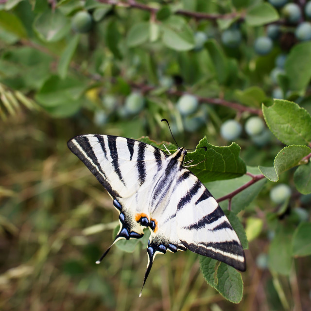 """Beautiful white butterfly"" stock image"
