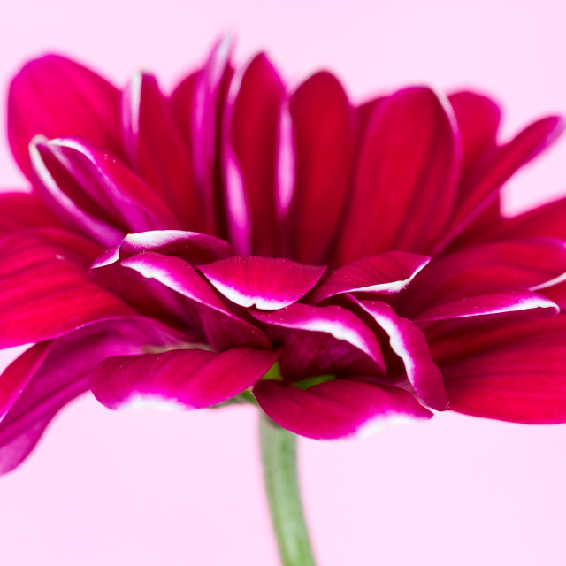 """Pink Chrysanth"" stock image"