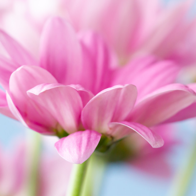 """Pink Chrysanthemum"" stock image"