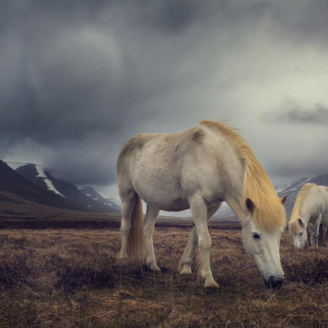 """""""FR Iceland Ponys"""" stock image"""
