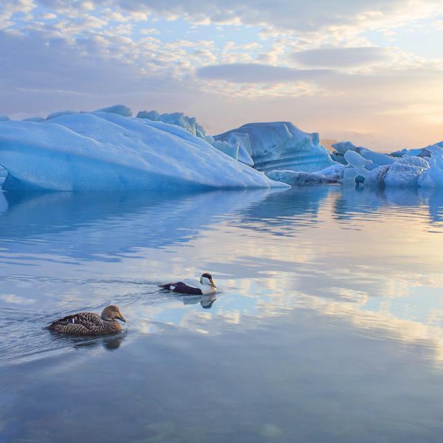 """""""FR Iceland Ice Ducks"""" stock image"""
