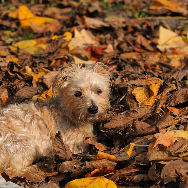 """gray dog in the leaves"" stock image"