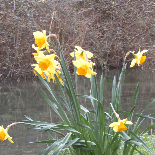 """Daffodils on Cotswold riverbank"" stock image"