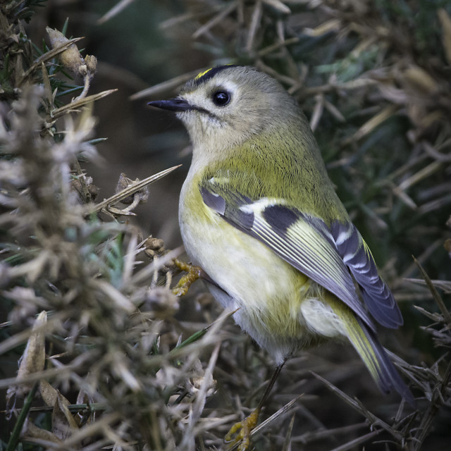 """""""Goldcrest in Whin"""" stock image"""