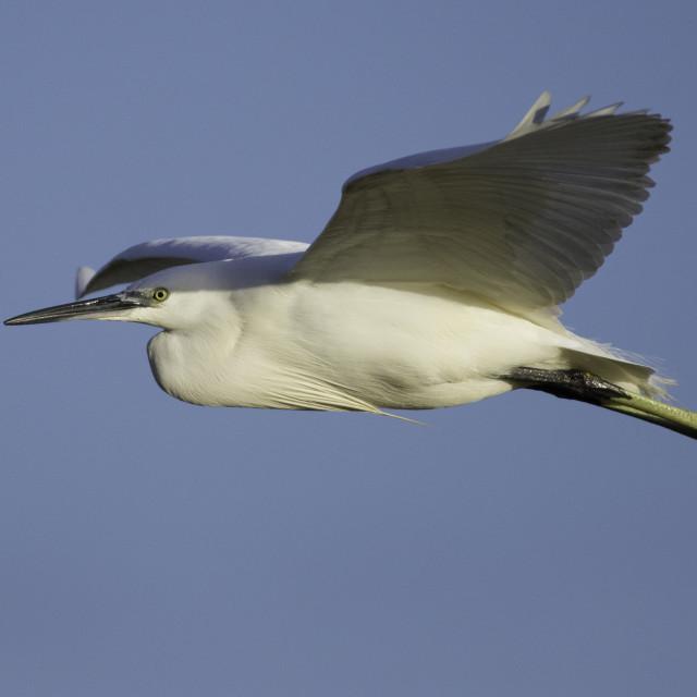 """""""Little Egret in flight"""" stock image"""