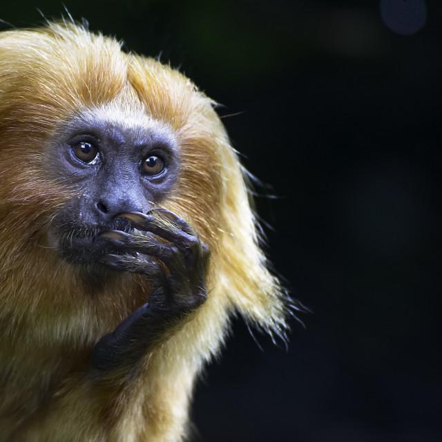 """""""Thinking Monkey"""" stock image"""