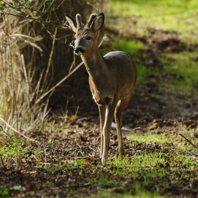 """Roe deer buck, close-up"" stock image"