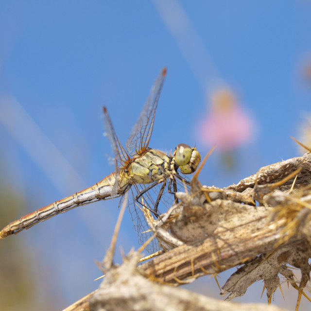 """""""Dragonfly perched on a dry thistle."""" stock image"""
