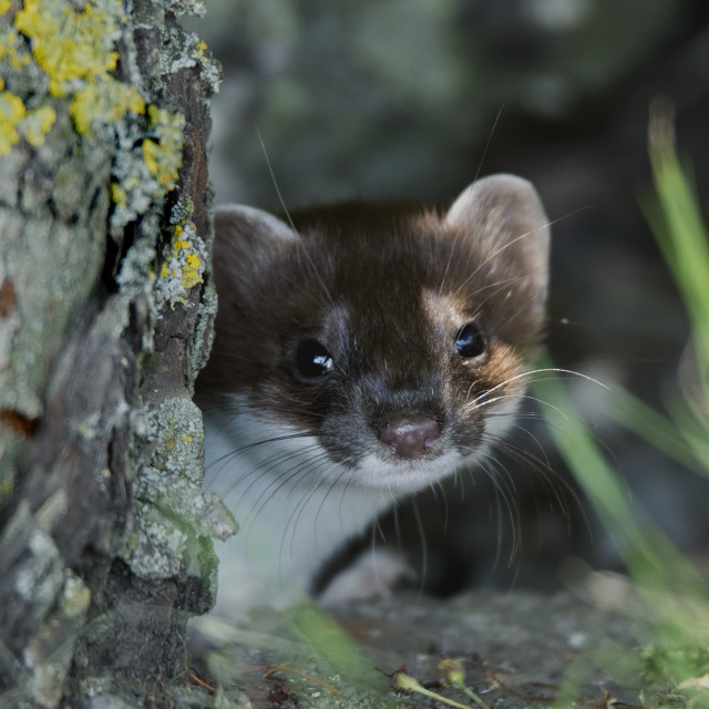 """Stoat Kit"" stock image"