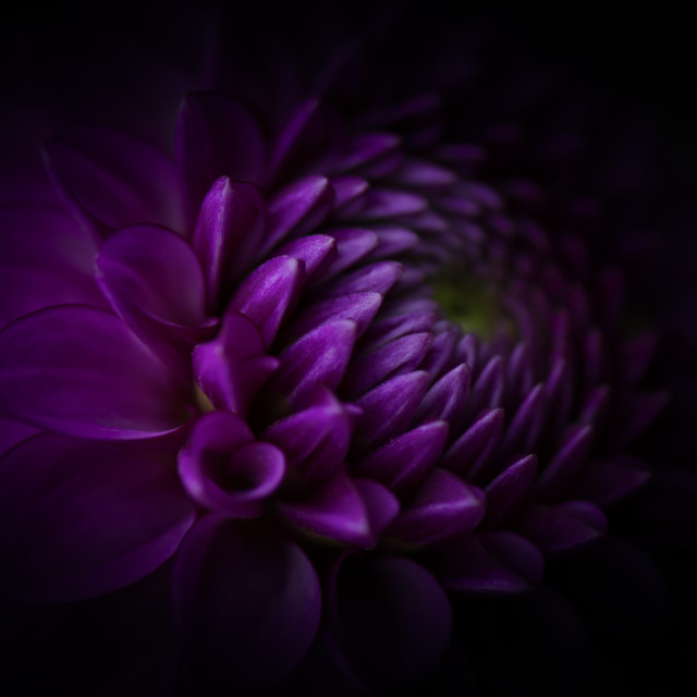 """Dark Dahlia"" stock image"