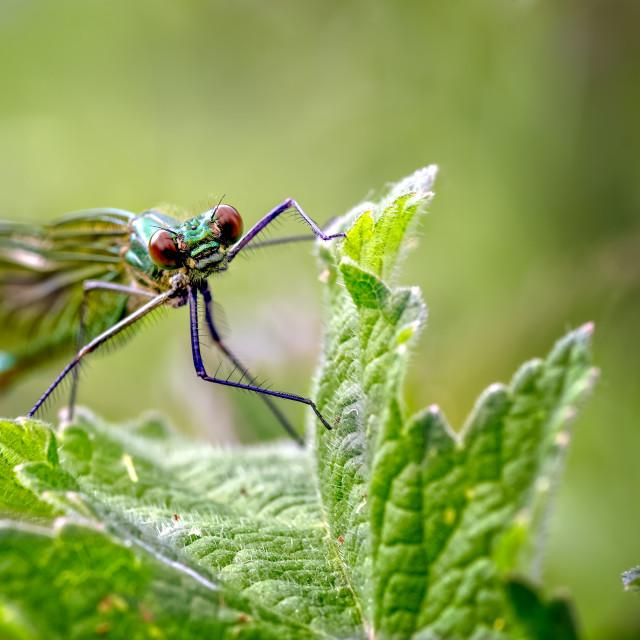 """A Female Banded Demoiselle Damselfly, Calopteryx splendens on vegetation near..."" stock image"