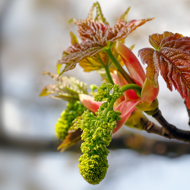 """""""A Sycamore, Acer pseudoplatanus Bursts into Leaf and Flower during Spring."""" stock image"""