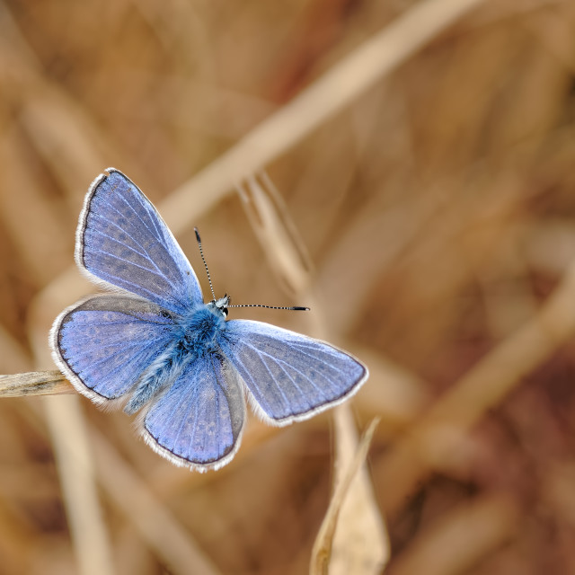 """Common Blue Butterfly, Polyommatus icarus on Parched Grass Stem."" stock image"